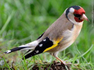 Chardonneret élégant Carduelis carduelis European Goldfinch